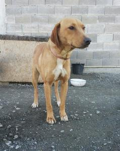 Cyprus Dog