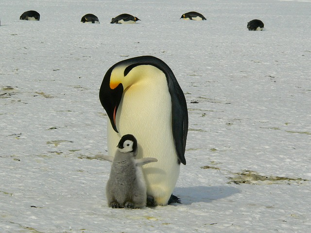 Adult penguin and fledgling